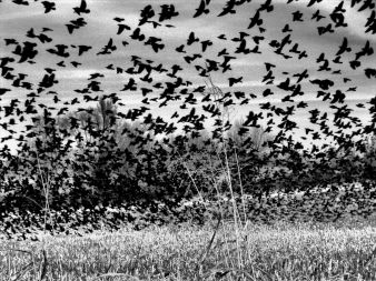 DSC06826 Blackbirds Over Cornfield black and white heavy