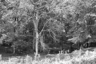 IMG_1444 Witch tree c