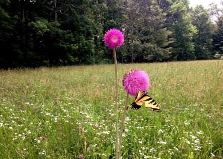 IMG_1847 Butterfly and Thistle