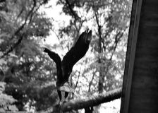 IMG_5078 Vulture on Branch b and w high clarify
