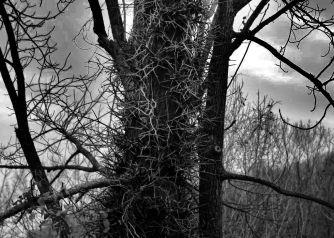 IMG_6338 Honey Locust thorns 2
