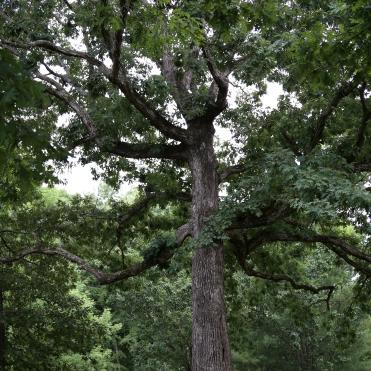 IMG_6879 old tree