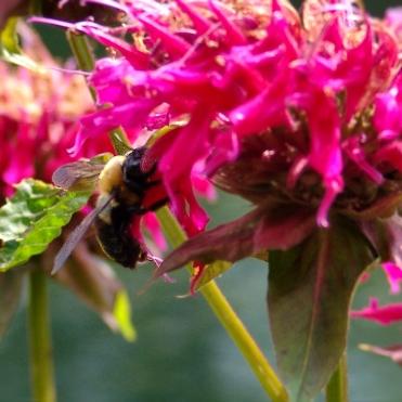 DSC04483 Bee