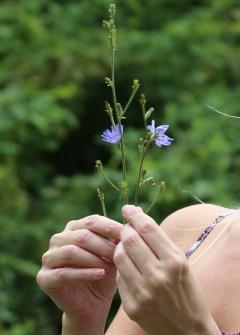 IMG_4899 Chicory