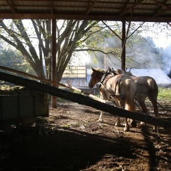 IMG_4291 Belgian Horses