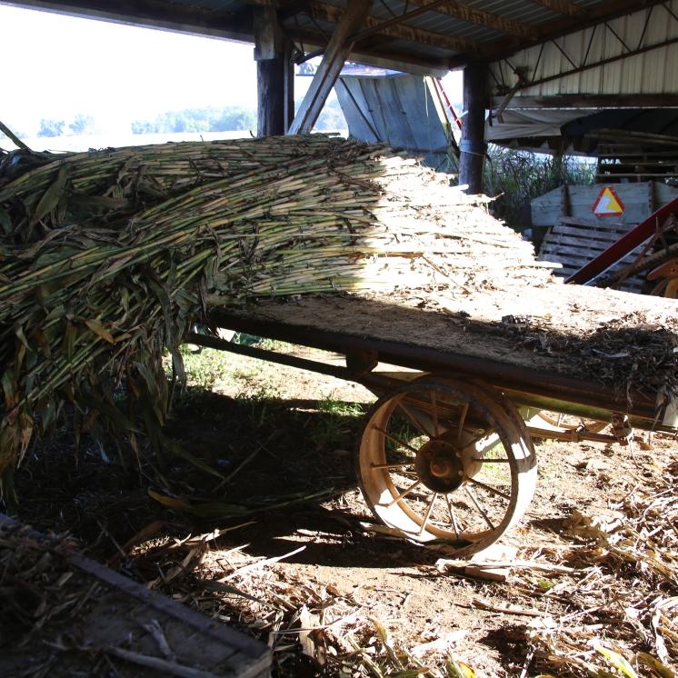 IMG_4295 Sorghum cane stalks