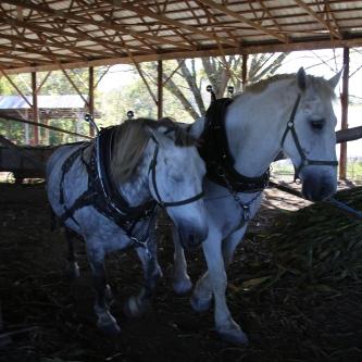 IMG_4346 Horses working