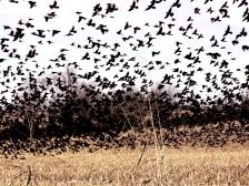 DSC06826 Birds in Corn Fileld